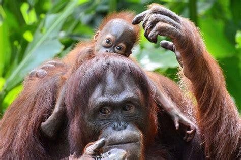 orangutans for sale 17 best images about orangutans on