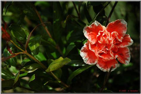 fiori melograno fiori il di luceradente page 2