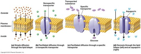 types  cell transport cells