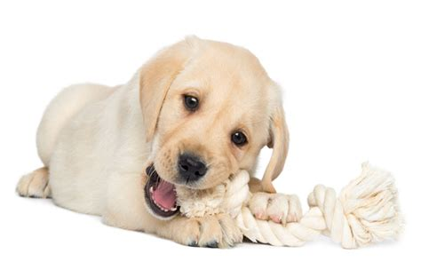puppy teething toys best toys for teething puppy american kennel club