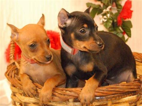 miniature pinscher puppies miniature pinscher breed information pets world