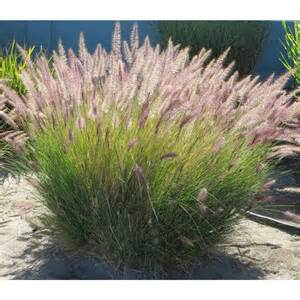 pennisetum bajra fountaingrass grass fountain millet