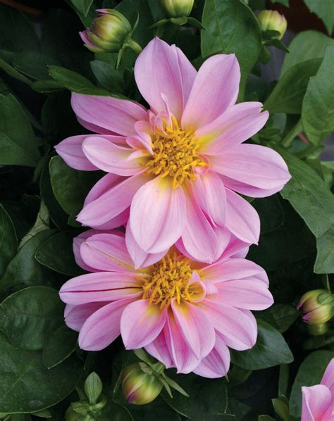 the questionable behavior of dahlia moss a dahlia moss mystery books dalina 174 midi malaysia dahlia hybrid proven winners