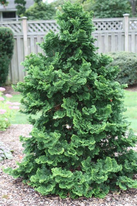 wandle länglich hinoki cypress wendell border garden