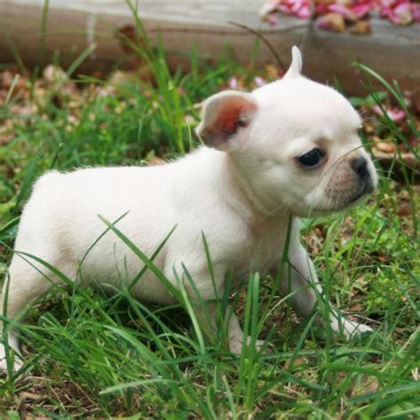 best indoor dogs bulldog 15 best small breeds for indoor pets