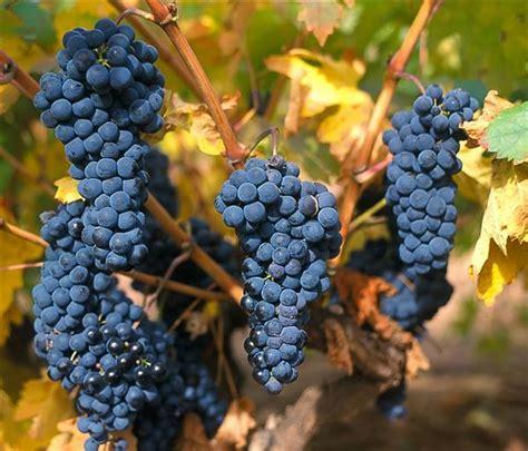 imagenes uva garnacha 191 sabes que variedades de uvas tintas son las m 225 s