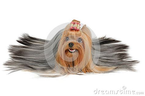 silver haired yorkie coated terrier with silver hair stock photos image 31291173