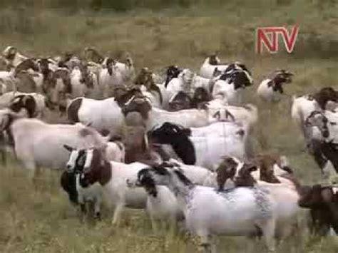 Jual Bibit Kambing Gibas Jogja wow domba ini terjual seharga 1 milyar doovi