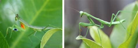 praying mantis garden pest bonsai skosh not a pest of the month praying mantises