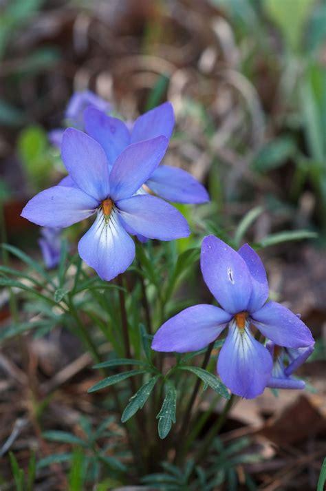violet s viola pedata wikipedia