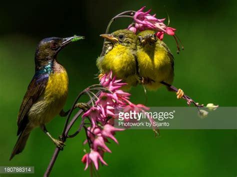 kolibri stock photo getty images
