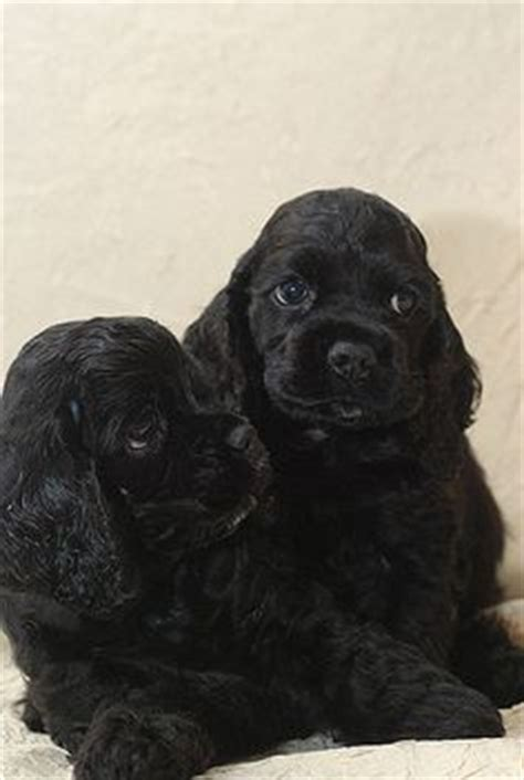 1000+ ideas about spaniel puppies on pinterest | spaniels
