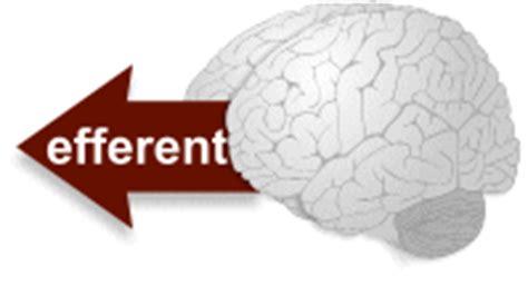 motor efferent blobs org the nervous system