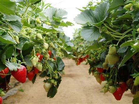 piantare le fragole in vaso come coltivare le fragole alberi da frutto