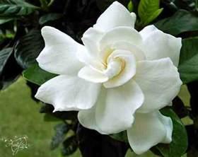 Gardenia Origin Gardenia Flower Meaning Unlock The Secret Auntyflo