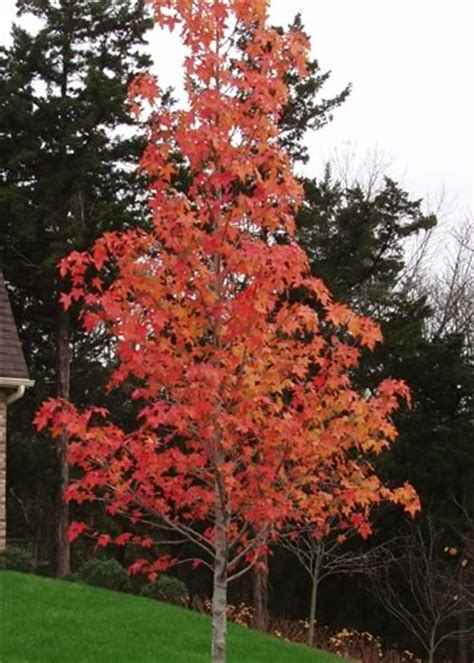 sweetgum tree pictures images photos facts on sweetgum trees