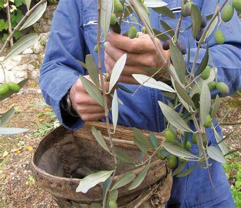tende per raccolta olive la raccolta delle olive latteria turnaria