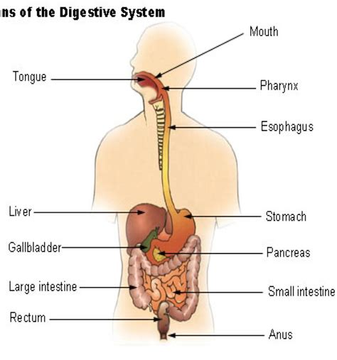 diagram of stomach and intestines anatomy at academy of cincinnati studyblue