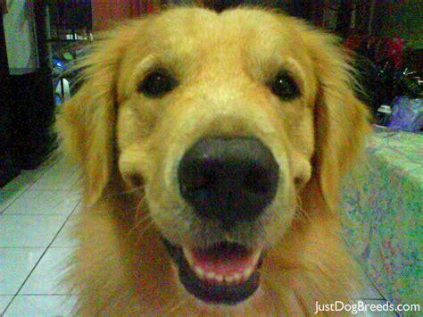just breeds golden retriever happeelee golden retriever breeds