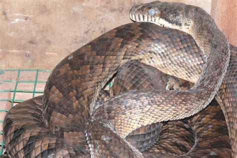 musa salah satu ular patola jenis klastro milik akbar sedang berganti kulit dalam kandang