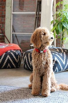 dog haircuts austin labradoodle haircuts for summer do you do a summer