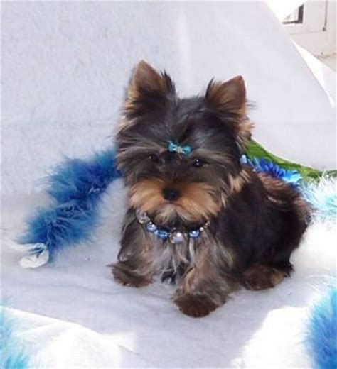 teacup yorkie puppies for free adoption and adorable teacup yorkie puppies free adoption auto design tech