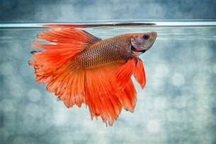 caring feeding and breeding for siamese fighting fish betta fish