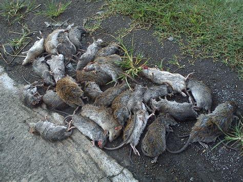 Racun Tikus Tanpa Bau racun tikus petrokum tikus mati kering racun tikus mati kering tanpa membusuk