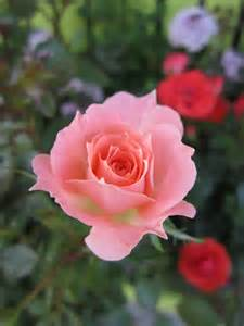 miniature roses huntersgardencentre com