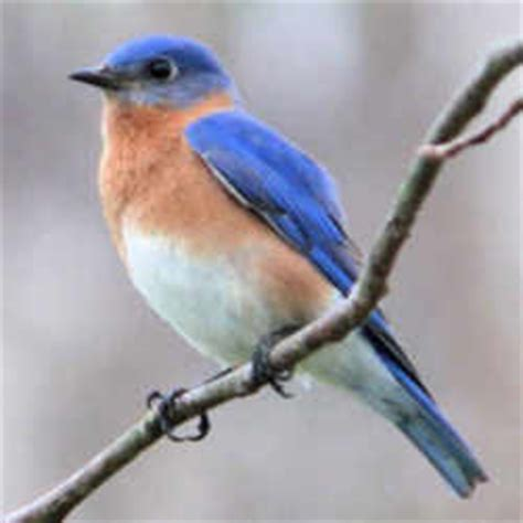new york state bird eastern bluebird