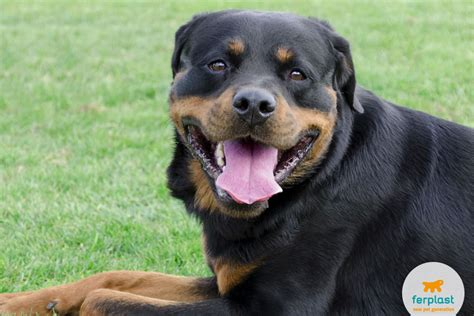 are rottweilers family guard dogs the rottweiler a guard with a of gold
