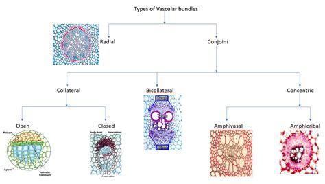 vascular tissue diagram vascular tissue diagram vascular plant tissue definition