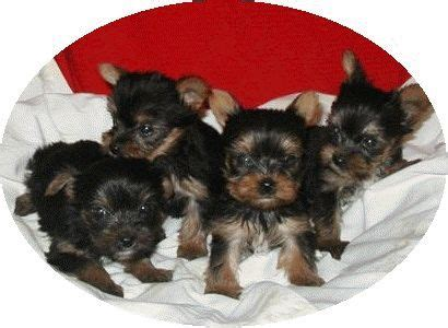 teacup yorkie puppies for sale in houston 17 best ideas about yorkie puppies for sale on yorkie dogs for sale