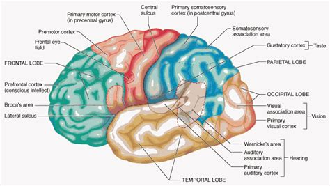 the human frontal lobes third edition functions and disorders science and practice of neuropsychology books chapter 19