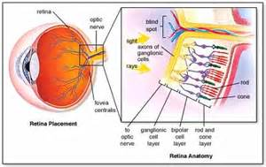 receptor cells in the retina responsible for color vision are 2 brandon kelcey