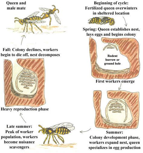 hornet cycle diagram yellowjackets placer mosquito and vector district