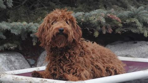 cinnamon dogs cinnamon goldendoodle trained