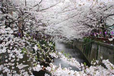 wallpaper bunga sakura di jepang bunga sakura 3 sehyunie