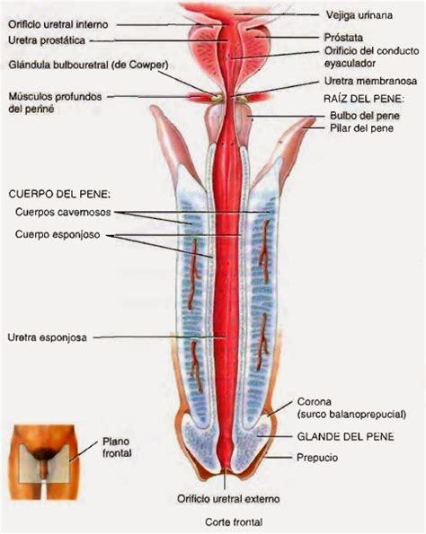 cuales son las partes del pene sistema reproductor masculino