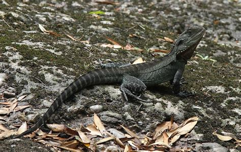 australian water dragon facts  pictures reptile fact