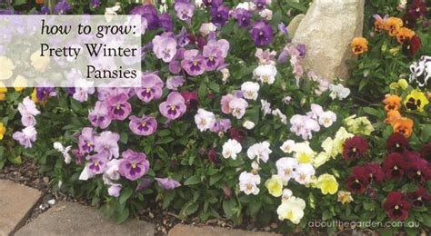 how to grow pretty winter pansy flowers for winter