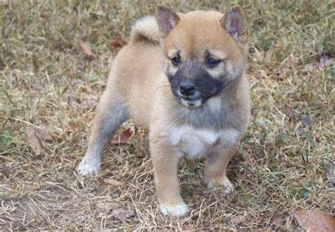 teacup shiba inu puppies for sale googd looking shiba inu puppies for sale meridian id asnclassifieds