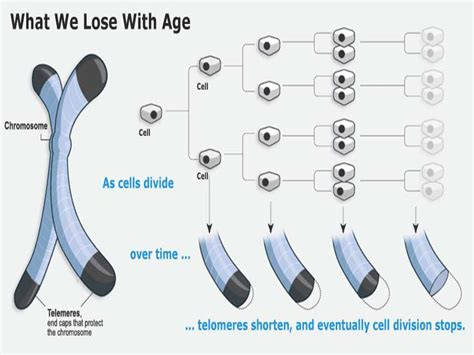 what are telomeres telomere learning center telomere science newest component of globally renowned healthy aging program