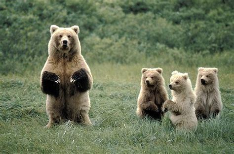 angry mama bear and cubs | www.pixshark.com images