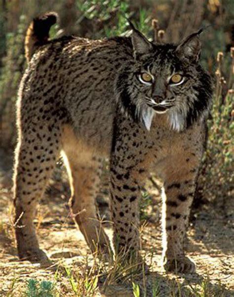 WILD CATS   LYNX    Iberian Lynx