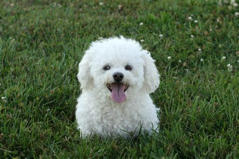 bichon frise puppies breeders want to adopt a bichon frise pros cons of bichon dogs the guide