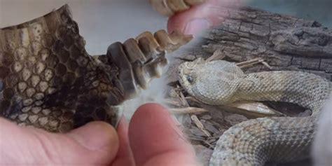 film ular derik video ini ungkap penyebab ekor ular derik bisa berbunyi