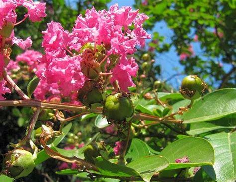 Biji Bunga Bungur Putih tanaman obat bungur kecil obati disentri dan bisul