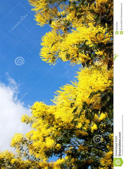 immagine di mimosa fiore immagini mimosa fiore cestino di fiori di mimosa fiori 8