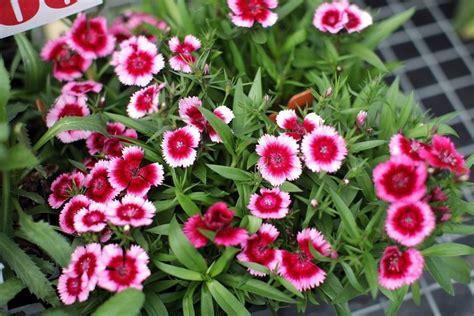 fiori di marzo seminare perenni a marzo speciali semina giardino